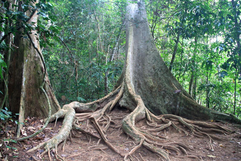 regenwaldtaman